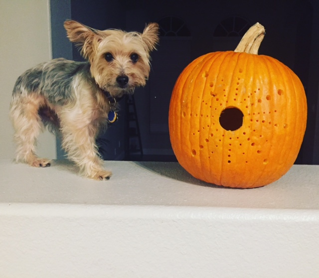 Sanford the Yorkie with drilled pumpkin